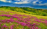 Nature-Summer-meadow-landscape-with-violet-flowers-forest-green-