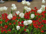 ^ White Tulips with Wallflowers