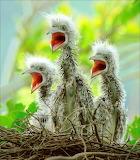 Baby-birds 2