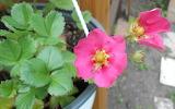 Blühende Erdbeere