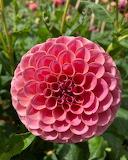 Flowers - Pompom Dahlia