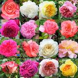 16 Roses 1