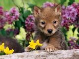 Coyote-pup-baby-animals-19816875-1600-1200