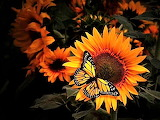 #Sunflowers with Butterfly