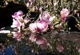 Magnolia Refections