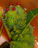 "Insects tumblr amnhnyc ""Cecropia caterpillar"" ""Hyalophora cecrop"