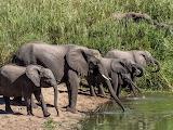 Herd of elephants drinking water