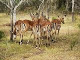 African antelope,Uganda