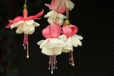 Fucshia flowers