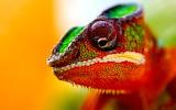 Cape Dwarf Chameleon...