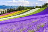 japanese flower field
