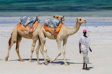 camels on Diani Beach, Kenya