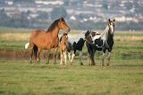 Wild horses wallpapers 26