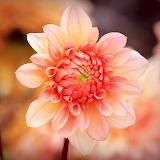 Peach Dahlia...