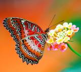 Lovely Butterfly...