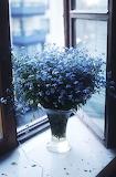 Placid Blue Forget Me Nots