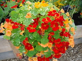 ^ Nasturtiums in a container