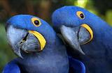 Lloros - Parrots