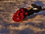 A Rose Left on the Snow