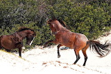 Wild Horses On Cumberland Island Georgia USA