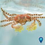 "Science tumblr noaasanctuaries ""pom pom crab"" anemones ""Hawaiian"