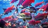 Sockeye-red-salmon