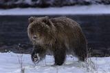 Grizzly Bear Cub -Yukon Territory -Canada