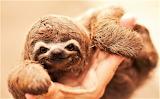 #Cute Baby Sloth