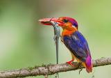 ^ Oriental Dwarf Kingfisher