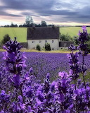 ^ Cotswold Lavender, England