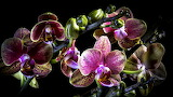 Orchid Closeup Black background 555823 2560x1440