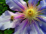 bee on clematis