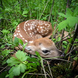 White Tail Fawn, Iowa ~ After hiker left, mother returned