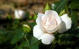 Flowers White rose