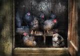 Farm-chicken-the-hen-house-mike-savad