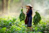 Girl in tobacco field