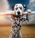 Just One Dalmatian