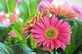 Flowers-daisies-gerberas-nature
