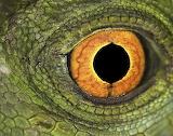 Lizard eye close-up