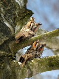 Lomg-eared owls Wiki photo comp Volodymyr Burdiak