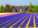 Holland, house, cottage, brick, architecture, flower field