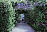 flourishing wisteria