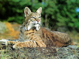 Bobcat-photo-from-illinois-dnr-website
