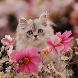 A pretty little Persian kitten