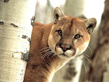 Watchful Cougar...