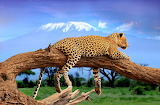 Leopard-wild animal