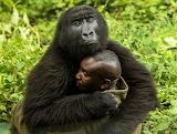 Orphan Gorilla ~ Congo
