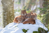 Lynx mom with kittens
