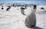 Pinguin-