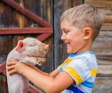Pig friend